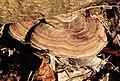 Bracket Fungus (32510791622).jpg
