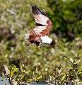 Brahminy kite 22 (7233194498).jpg