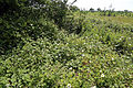 Brambles eastwards outside the Woodland Trust wood Theydon Bois Essex England.JPG