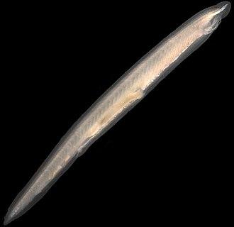 Craniate - Image: Branchiostoma lanceolatum (cropped)