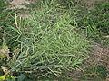 Brassica napus plant8 (14680953515).jpg