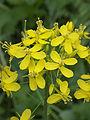 Brassica rapa subsp. campestris, raapstelen bloeiwijze (1).jpg