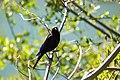 Brewer's blackbird (48114521691).jpg