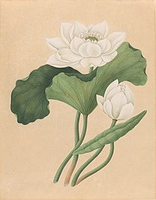 drawing of the east Indian lotus, gouache on oriental paper