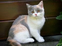 British Shorthair tricolore.jpg