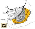 Brodmann area 22 inside lateral sulcus.png