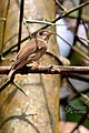 Brown-breasted Flycatcher (Muscicapa muttui) മുത്തുപിള്ള. (32990801696).jpg
