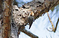 Brown-headed Nuthatch Phil Graham.jpg