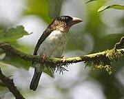 Brown Barbet (Calorhamphus fuliginosus hayii)
