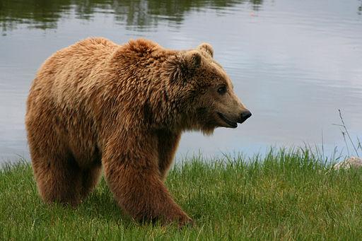 Brown bear (Ursus arctos arctos) smiling