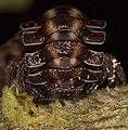 Brown polydesmida Ecuador 02.jpg