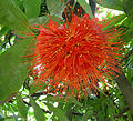 Brownea ariza, flower of the Palo de Cruz. (9338102393).jpg