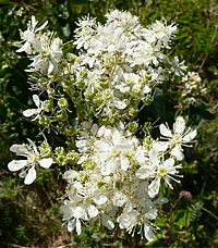 Brudbröd Filipendula vulgaris.jpg