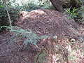 Brush turkey mound.jpg
