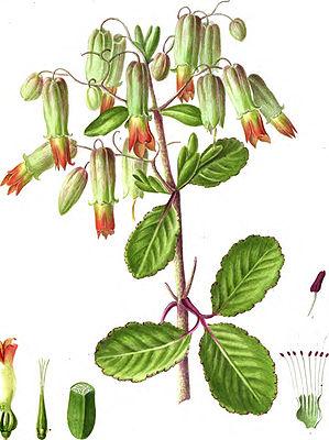 Уход за каланхоэ в домашних условиях Фото лечебных и цветущих