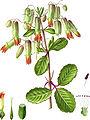 Bryophyllum calycinum-Erstbeschreibung.jpg
