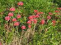 Bryophyllum delagoense habit2 (12079274704).jpg