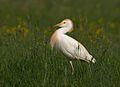 Bubulcus ibis 1 (Martin Mecnarowski).jpg