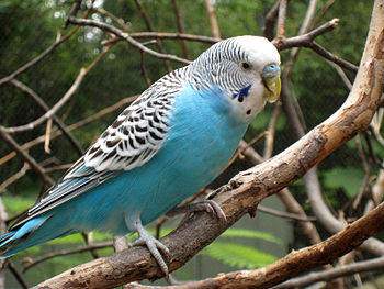 English: Budgerigar (Melopsittacus undulatus).