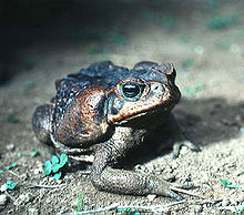 An adult cane toad with dark colouration, as found in El Salvador: The parotoid gland is prominently displayed on the side of the head.