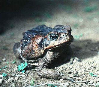 Cane toad - Specimen from El Salvador: The large parotoid glands are visible behind the eyes.
