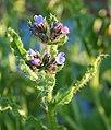 Bugloss (Anchusa arvensis) - geograph.org.uk - 497607.jpg