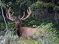Bull Elk in velvet, Jenny Lake, Grand Teton NP (19621347835).jpg