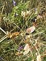 Bupleurum rotundifolium sl46.jpg