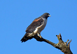 White-tailed hawk - Adult, SE Brazil