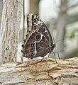 Butterfly (5555386056).jpg