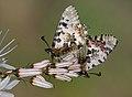 Butterfly Eastern Festoon - Allancastria cerisyi.jpg