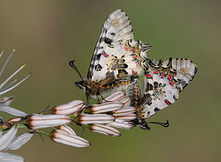 Orman fisto kelebeği