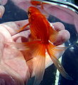 Butterfly Goldfish 01.JPG