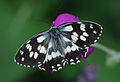Butterfly Marbled White - Melanargia galathea.jpg