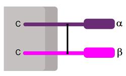 CD8-Rezeptor