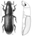 COLE Curculionidae Pentamimus.png