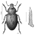 COLE Curculionidae from Falkland Is.png