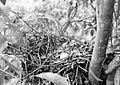 COLLECTIE TROPENMUSEUM Een nest met een ei van een slangenbuizerd (Spilornis) in Dampar Oost-Java TMnr 10006585.jpg