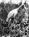 COLLECTIE TROPENMUSEUM Nimmerzat (Ibis cinereus) TMnr 10006480.jpg