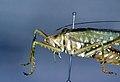 CSIRO ScienceImage 120 A Terpandr Grasshopper.jpg