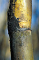 CSIRO ScienceImage 4291 Closeup of recently burnt cane ready for harvest at Frank Balettas farm Brandon near Ayr Burdekin Irrigation Area SE of Townsville.jpg