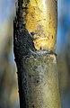 CSIRO ScienceImage 4291 Closeup of recently burnt cane ready for harvest at Frank Balettas farm Brandon near Ayr Burdekin Irrigation Area SE of Townsville.jpg