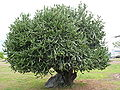 Cactus tronc kourou.jpg