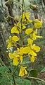 Caesalpinia mimosoides 10.JPG
