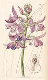 Calanthe sylvatica (as Calanthe masuca) - Edwards vol 30 (NS 7) pl 37 (1844).jpg