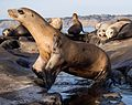 California sea lions in La Jolla (70547).jpg