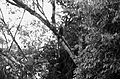 Callicebus ornatus.JPG