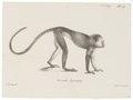 Callithrix cuprea - 1700-1880 - Print - Iconographia Zoologica - Special Collections University of Amsterdam - UBA01 IZ20200090.tif