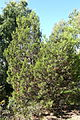 Callitris preissii - Jardín Botánico de Barcelona - Barcelona, Spain - DSC08969.JPG