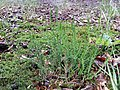 Calluna vulgaris sl31.jpg
